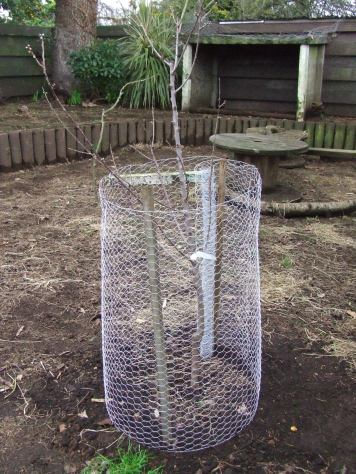 The 'All in One' almond tree has been planted in The Cedar Pen. I haven't properly attached the chicken wire protection yet but luckily I put it up after planting.