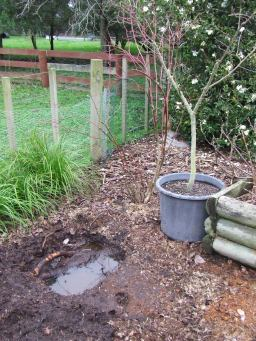 That plum tree is going to go in this hole, no matter how much digging, ramming and sawing of roots I have to do! Then I am going to have to move the blueberry bush further away.