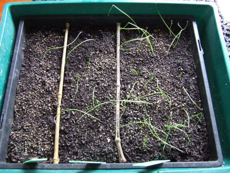 My onion sowings. The failed section on the left is the spring onions.