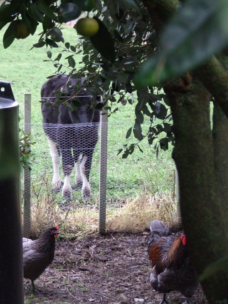 Cow watching chickens