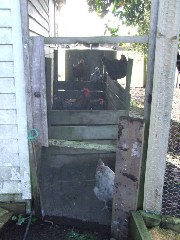 When I came back later, this is how I found the chickens. They were having so much fun they almost looked guilty!