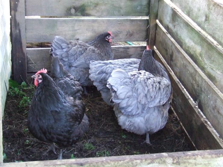 Lizzie, Georgiana, Jane B and Frodo are having a fielday.