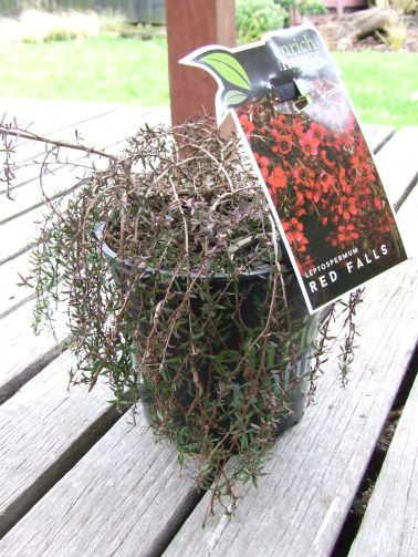 This is a little something I picked up while we were on holiday. Because what's a holiday without buying a plant? It is a prostrate, cascading manuka with red flowers, Leptospermum scoparium 'Red Falls'.