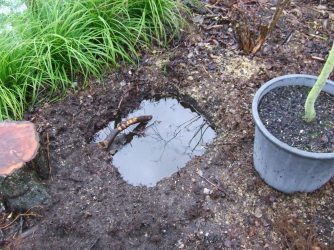 Just as it was starting to dry out, the plum tree hole got a new batch of water in it.