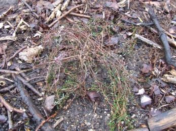 It may not look like much now, but one day this Leptospermum scoparium 'Red Falls' will be a sight to behold.