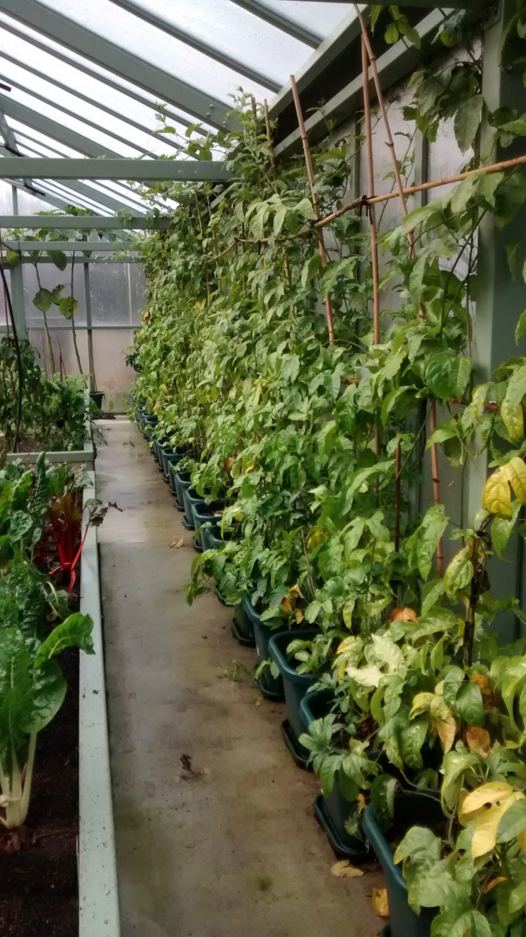There was an extremely impressive greenhouse, with no less than 25 passionfruit plants along one wall.