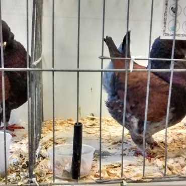 These pigeons were fascinatingly stout wee things, like the Indian Game chicken of the pigeon world.