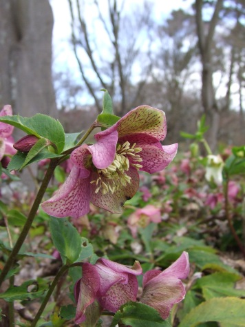 Hellebore flowers light up the ground.