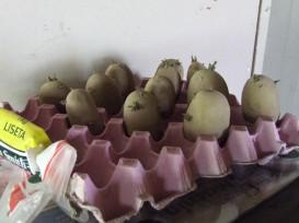 Liseta seed potatoes.