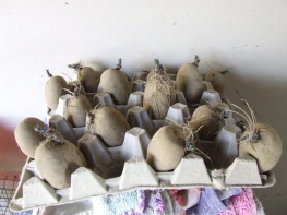 Some of the Summer Delight seed potatoes chitting.