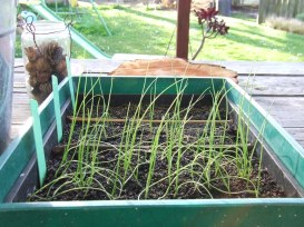 The onion seedlings are waiting to be set free into the vege garden.