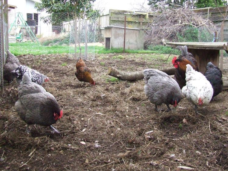 Chickens in The Cedar Pen