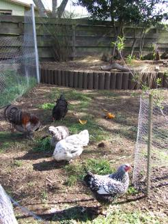 The chickens have been getting thrown a lot of weeds on the ground since I don't have a compost bin for them in this pen. They like weeding.