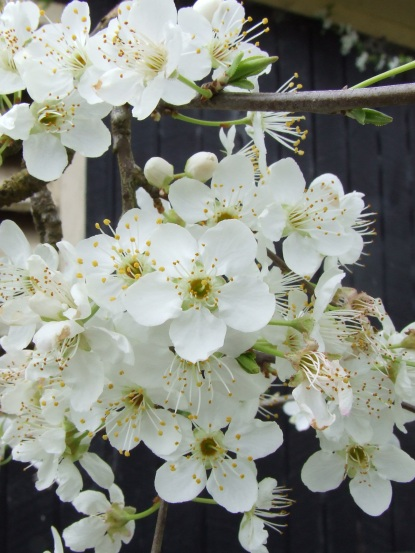 The mature 'Billington' plum tree is full of blooms.