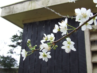 I think we're all looking forward to the plums that will follow these pretty white flowers.
