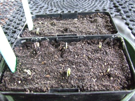 The cayenne chillies and colour mix capsicums are germinating well. Hooray!