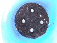 I had 12 Lisetta seed potatoes so I planted four in the smaller blue barrel and eight in the black one.