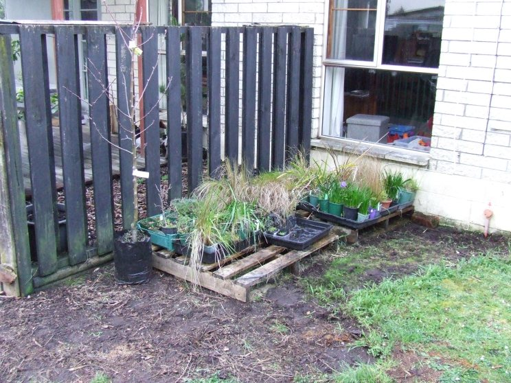 The next task in this area is re-potting and moving all my plants and the pallets, creating a triangle garden bed and planting the apple tree. And other things.