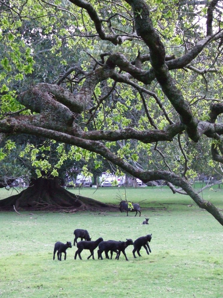 Black lambs frolicking!