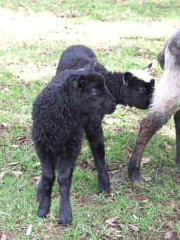 Is there anything cuter than a black lamb?