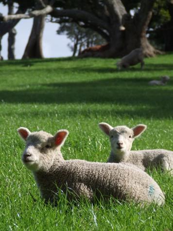 Spring = cute lambs.