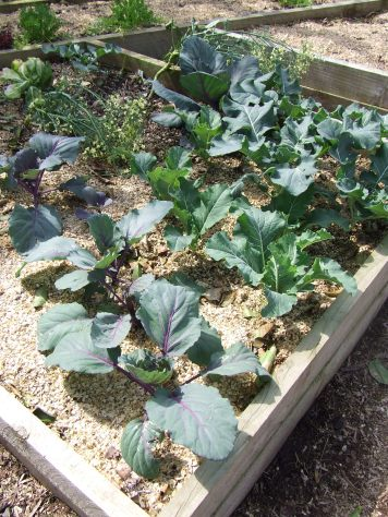 The brassica bed. These photos were taken a week ago, so everything is even bigger now.