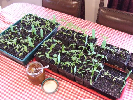 Because seedlings are obviously meant to be grown on the dining table next to the chutney...