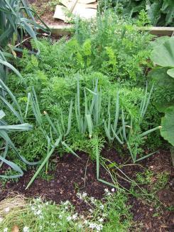 Last season's carrots in the vege garden.