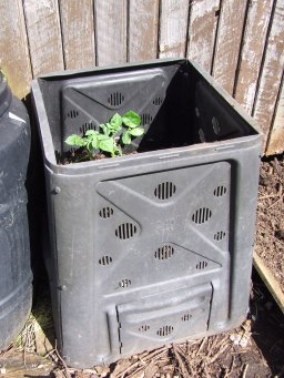 The potatoes are growing very fast in their barrels. The leaves are over the tops of the barrels now and they need mounding again.