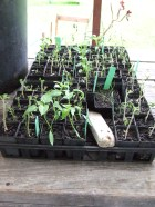 A couple of days after the 'bombing', things are not looking good for the tomato seedlings.