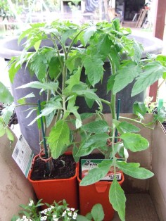The Husband found me a couple of big Black Krim tomato plants, so that will help a lot.