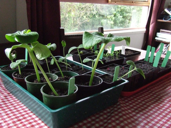 It is fascinating to watch this pumpkin growing process. The giant pumpkin seedlings are so huge compared to everything else! They now have their first true leaf.