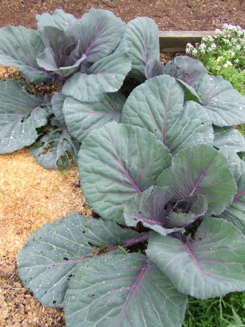The red cabbages are ginormous.