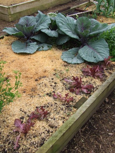 Young red lettuces are dwarfed by the cabbages.