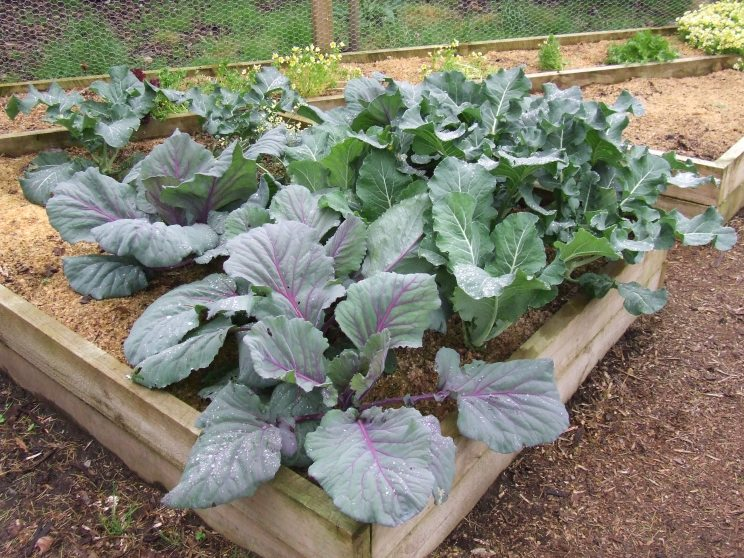 The brassicas are doing very well. I just need them to mature soon...