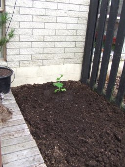 A nice bare patch of dirt is just asking for plants. What a great place to grow an Atlantic Giant pumpkin.