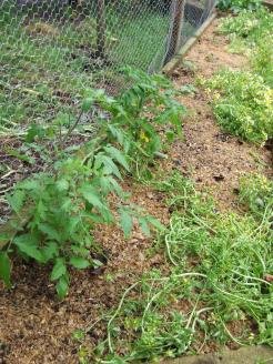 The two Black Krims that The Husband bought me are much appreciated as the other tomatoes try to catch up.
