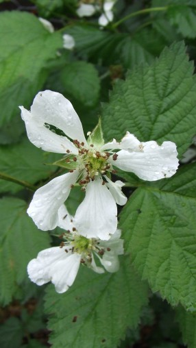 Boysenberry flowers. I can't wait for this crop to mature.
