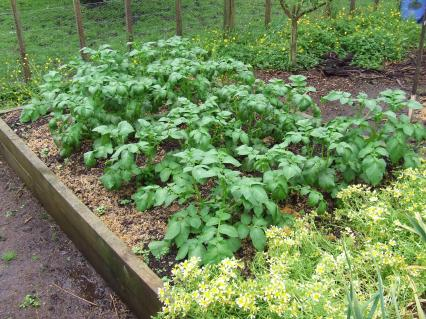 The Agria potatoes are rocketing away.