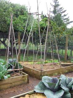 After changing my Vege Plan a little, the bean trellis is spanning the path between these two beds. We don't use heaps of runner beans so its not a wide trellis. There will be more bush beans. The unfinished tomato tee-pees are on either side of the bean trellis. I have one more tee-pee to site but there are large but slow red cabbages in the way at the moment. Those ones in the front there.