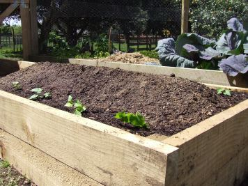The kumara are planted on each side of a mound.