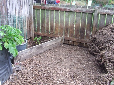 So far, the compost has been removed from the heap from the wall on the left to the compost heap on the right. Many sticks have been removed and will be a useful mulch. There has just been so much pruning. The Atlantic Giant pumpkin is planted in the corner.