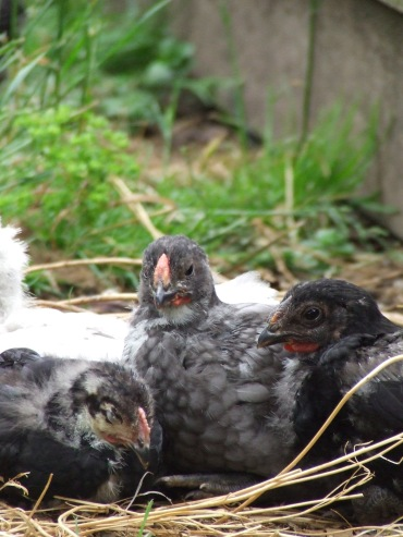 Everybody likes a chick snuggle pile.