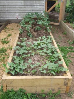 The kumara and Summer Delight potatoes are growing well in the newest vege bed, and I even mounded the potatoes nicely.