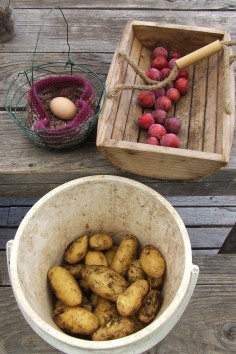 What do you do when there's another scheduled power cut? You harvest plums, potatoes and giant eggs.