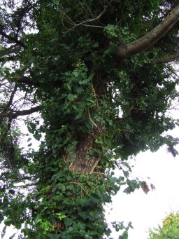 The ivy in the cedar tree was so intense that I thought we weren't going to be able to kill it for a while there.