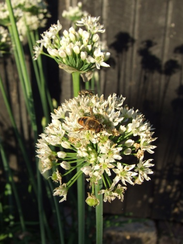 Garlic chives flowers look pretty and feed the bees.