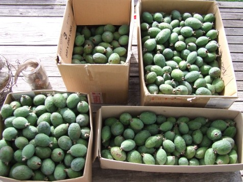 There were masses of feijoas from our one huge tree.
