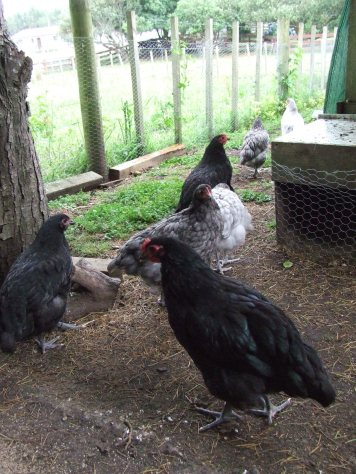 More pretty chickens. My favourite black boy is at the front. Let's hope his conformation turns out as well as his personality. Annie is the black one on the left and the second black boy is further back.