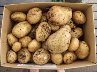 The first Summer Delight potato harvest was a good one.